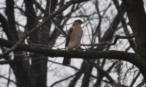 This bird was hanging out in a tree in our backyard a week or so ago. Hawk? Falcon? Anybody know? Whatever it was, it was big and fun to watch.