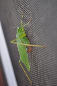 This picture has no relation to today's post, but I'm reminding myself--as it was only 12 degrees when I woke up this morning--that the time of beautiful green crickets clinging to open screen doors will come!