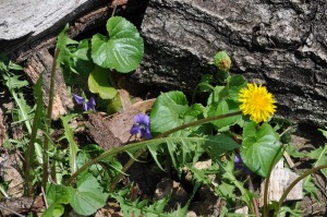 I really DO like dandelions--and wild violets.