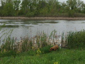 Chai dog enjoying the pond