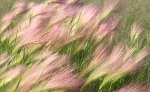 I wish there were a tie-in to today's post, but I simply thought these grasses were gorgeous.